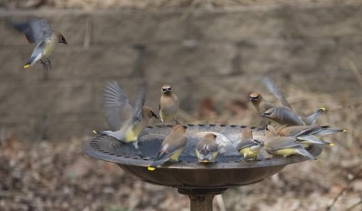 Photo of several cedar waxwings at a bird bath
